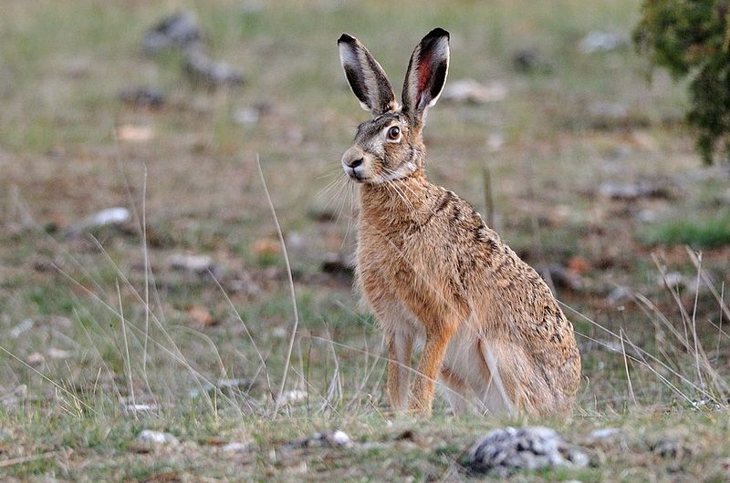 Hare_Lepus_europaeus